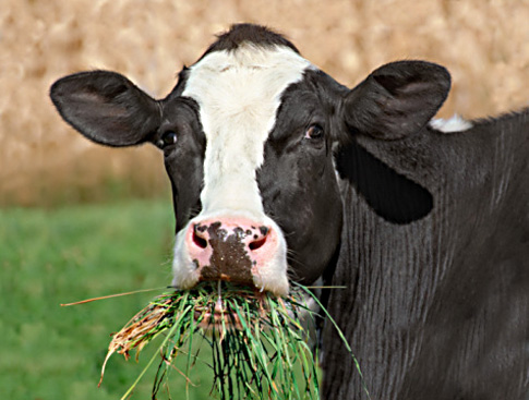 cow-eating-grass